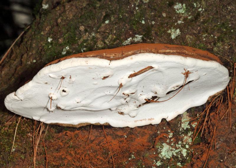 Ganoderma applanatum (Artists Conk)