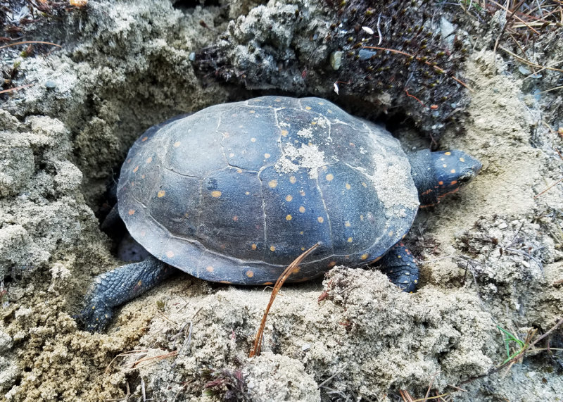 Spotted Turtle - Clemmys guttata (laying eggs)
