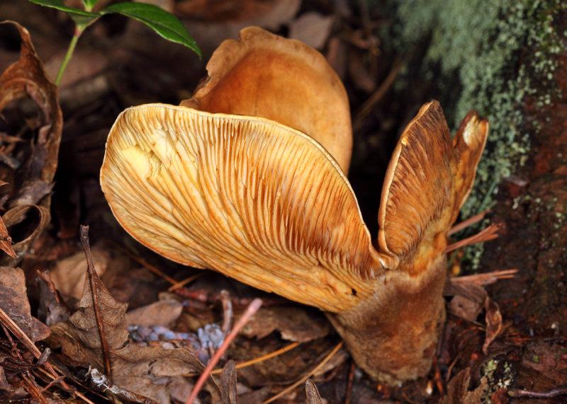 Tapinella atrotomentosa (velvet roll-rim)