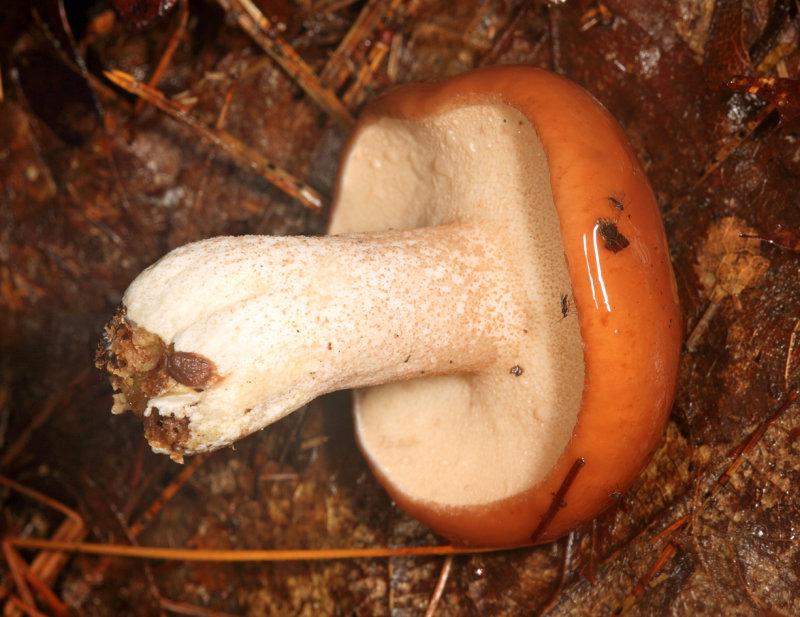 Suillus granulatus (Granulated Boletus)