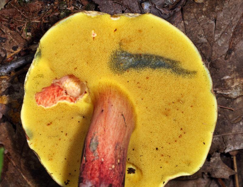 Boletus miniato-pallescens