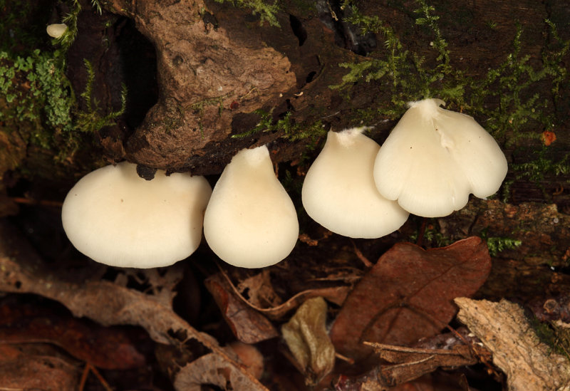 Crepidotus applanatus