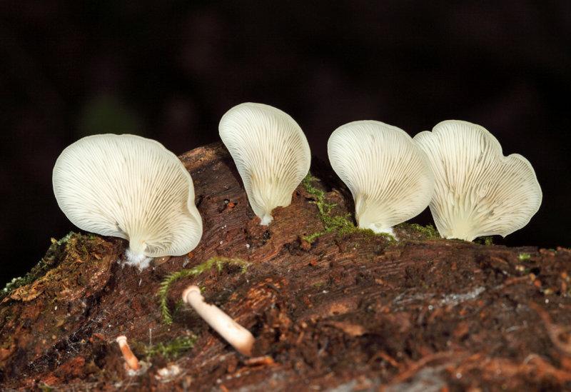 Crepidotus applanatus