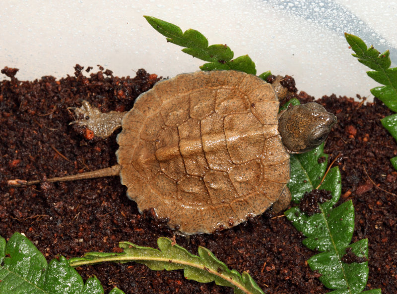 Wood Turtle - Clemmys insculpta (hatchling)