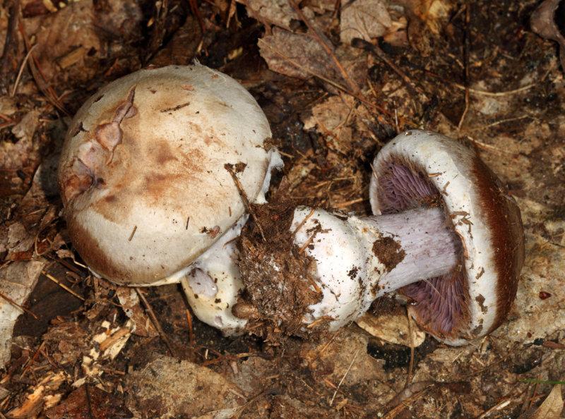 Cortinarius pulchrifolius ?