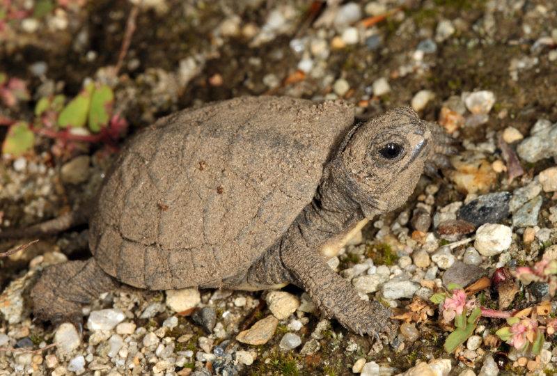 Blandings Turtle - Emydoidea blandingii (newly hatched)