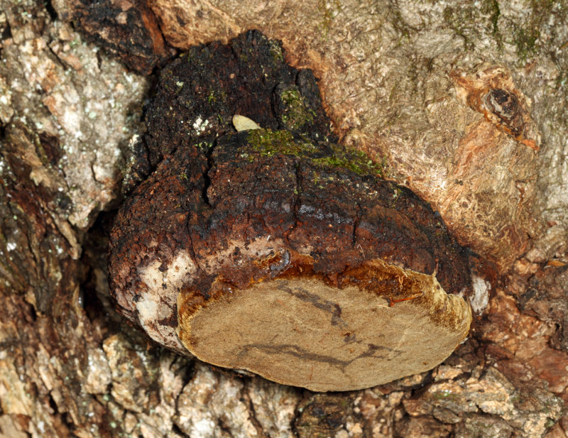 Phellinus sp. on white oak