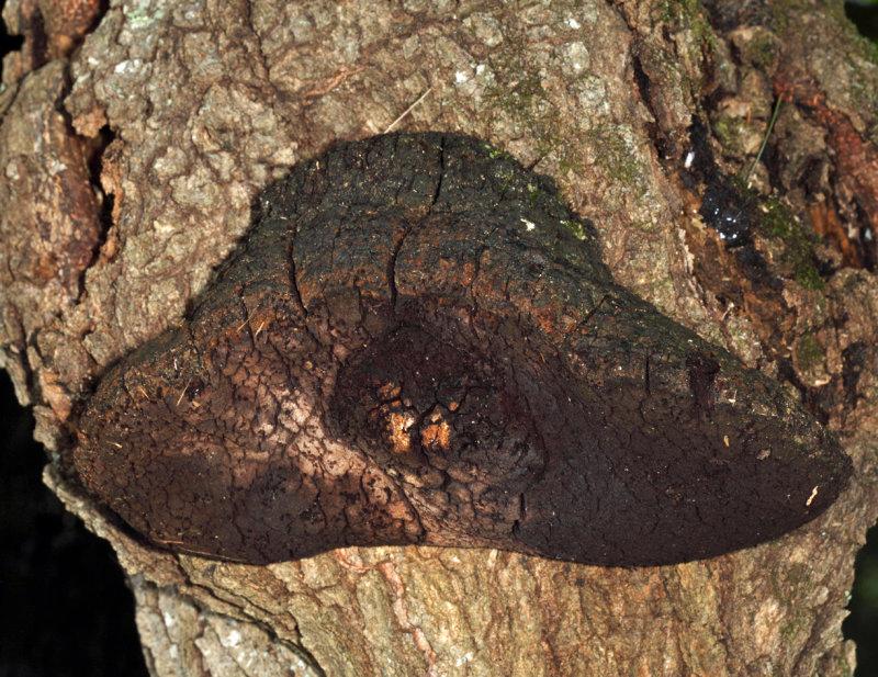 Phellinus sp. on red oak