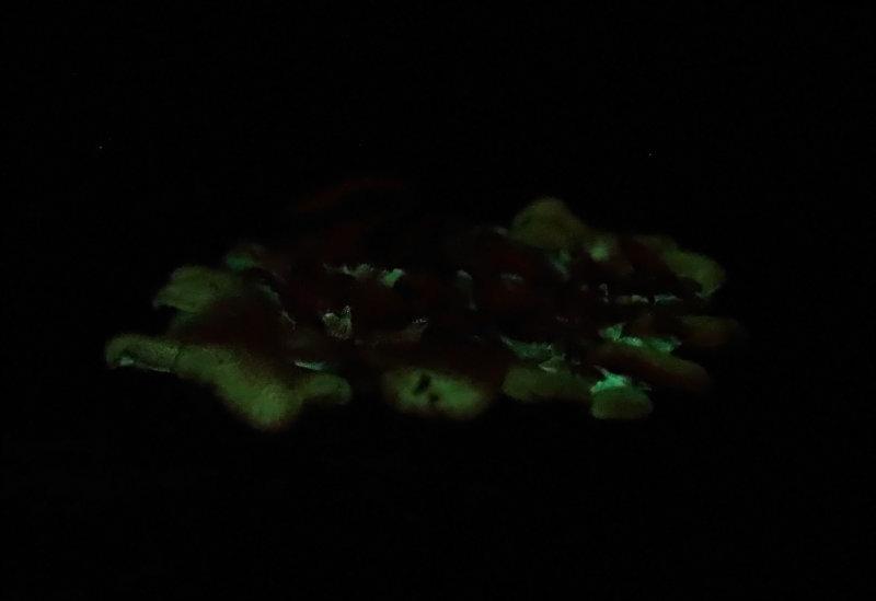 Panellus stipticus (Bioluminescent mushrooms)