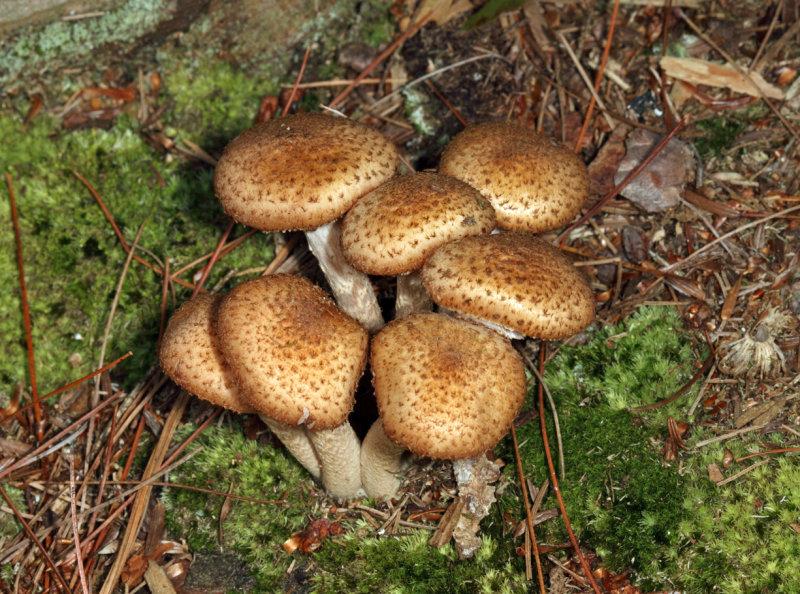 Armillaria solidipes