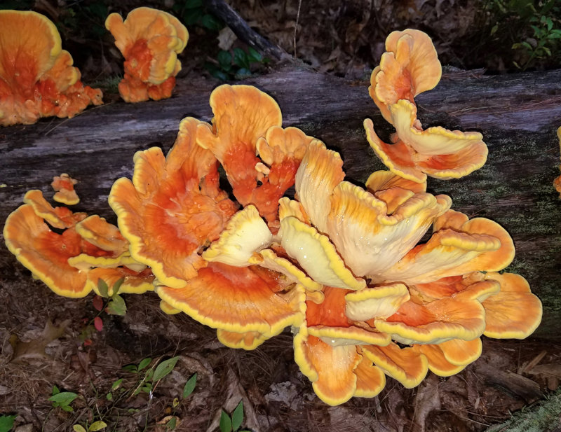Laetiporus sulfureus (Chicken of the Woods)