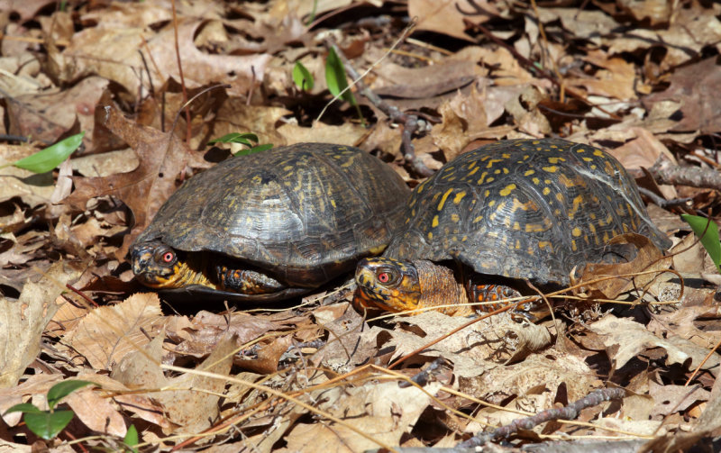 Eastern Box Turtle - Terrapene carolina carolina