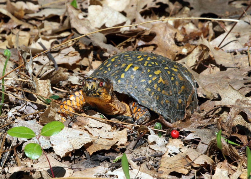 Eastern Box Turtle - Terrapene carolina carolina