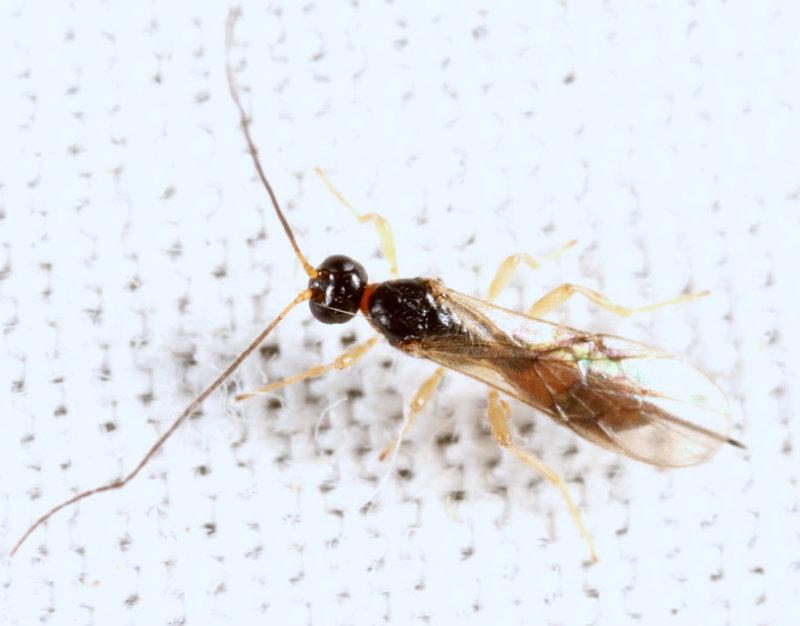 Exothecinae-or-hormiinae