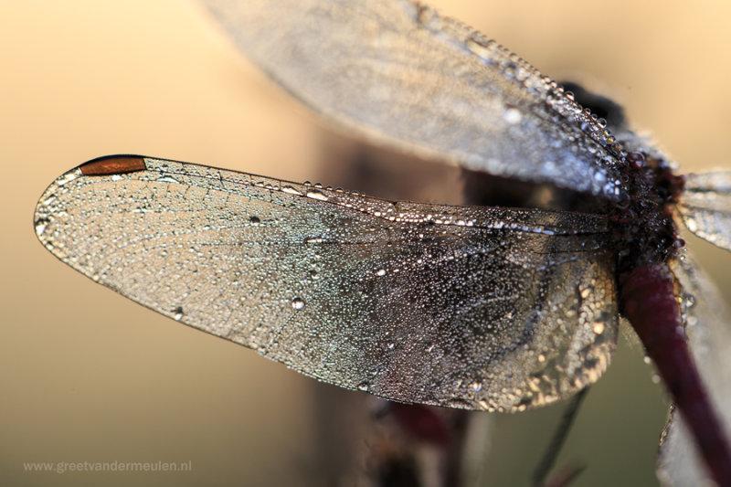 2N9B9093 dragonfly wing / libel vleugel