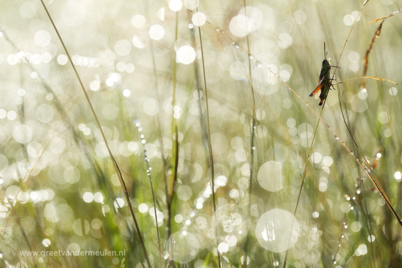 2N9B4119 grasshopper / sprinkhaan