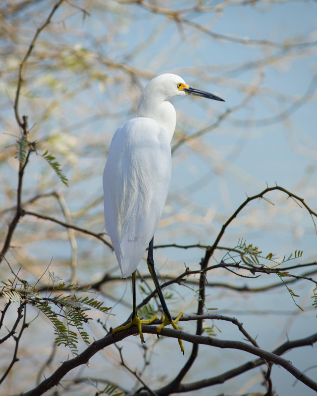 Riparian Preserve : Standing Tall Egrets