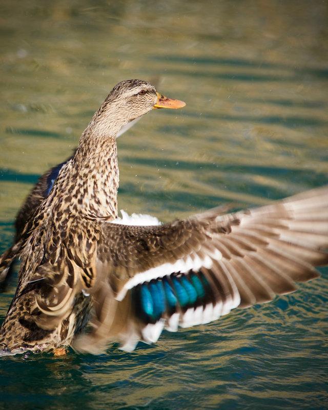 Riparian Preserve : Mating Calls : Duck