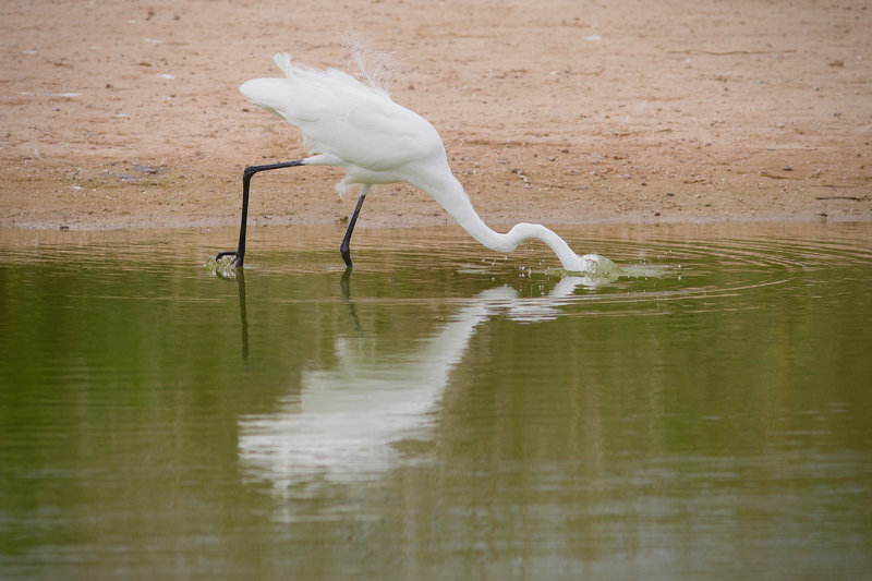 Riparian Preserve : Diving for Lunch : Egrets