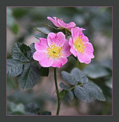 Sweet Briar Rose (Rosa rubiginosa )