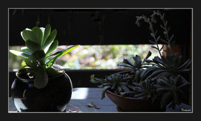 Two Succulents in pots