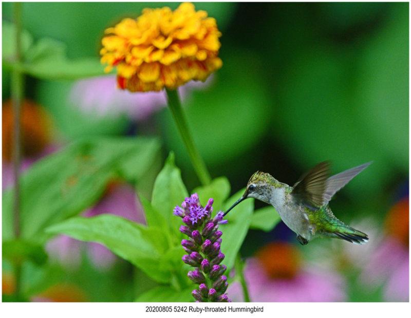 20200805 5242 Ruby-throated Hummingbird.jpg