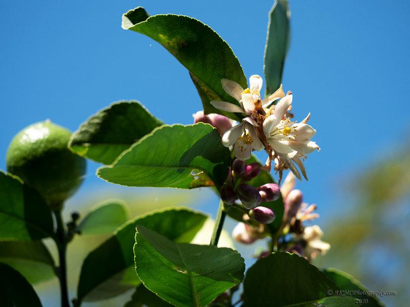 20200912_122128_P9120015 Lemon Tree, Very Pretty...