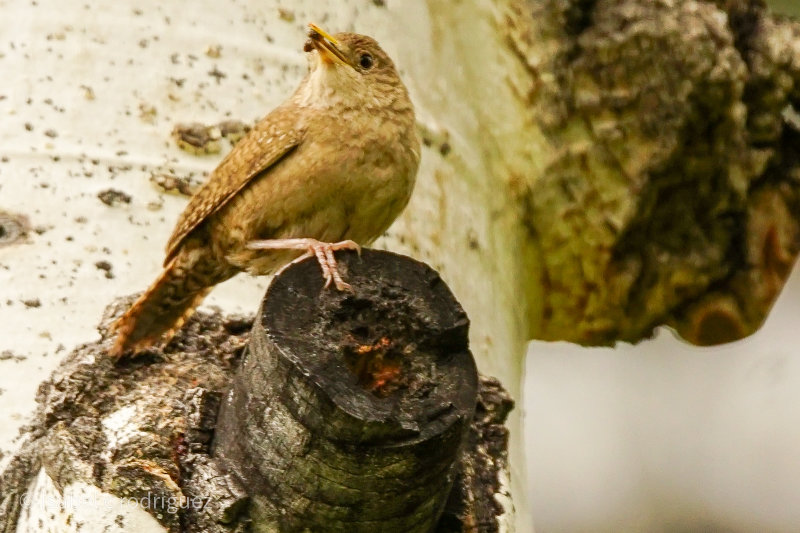 House Wren Perched