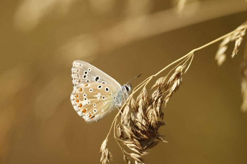 Un petit azuré femelle qui se fond dans le décor