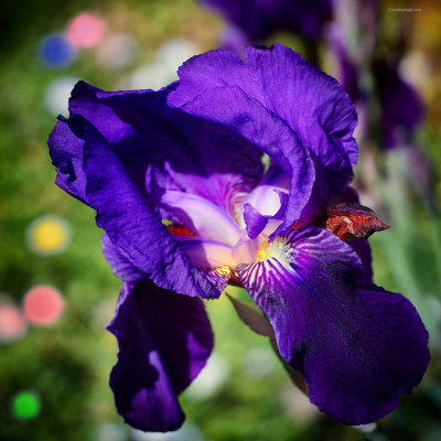 A beautiful purple flower in these strange days...