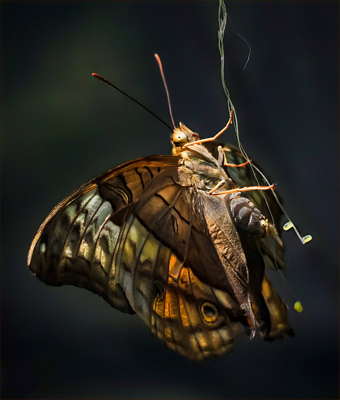 Butterfly Laying Eggs<br><h4>*Credit*</h4>