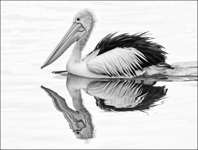 Pelican Reflections
