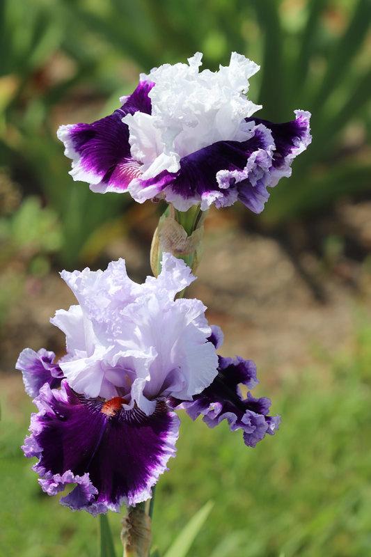Daring Deception Iris