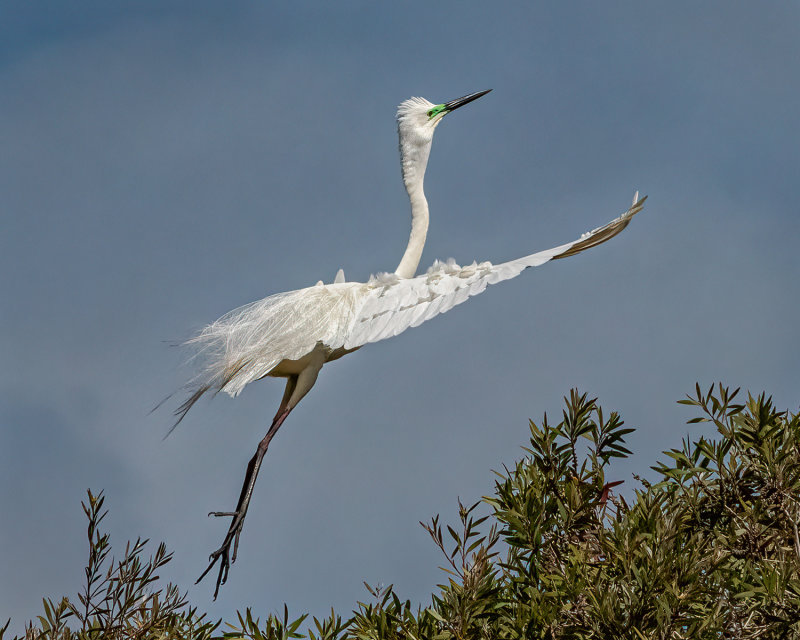 Egret Looking to Roost<br><h4>*Merit*</h4>