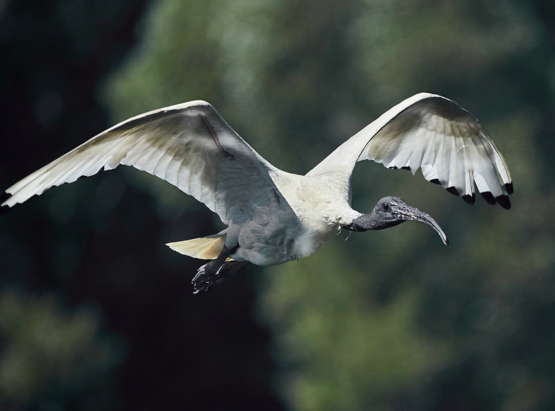 Ibis in Flight<br><h4>*Merit*</h4>