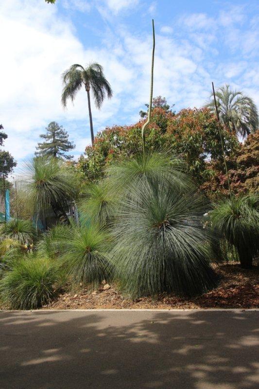 Xanthorrhoea ~ Toowoomba Queens Park