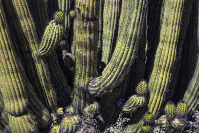 Organ Pipe Cactus Detail, Arizona