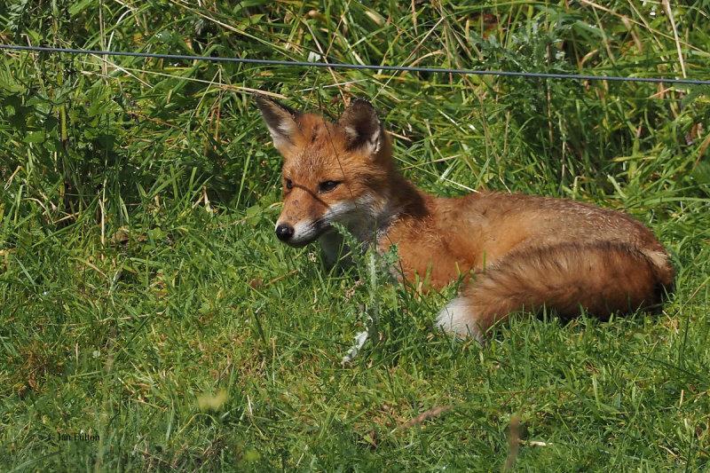 Fox, RSPB Barons Haugh, Motherwell