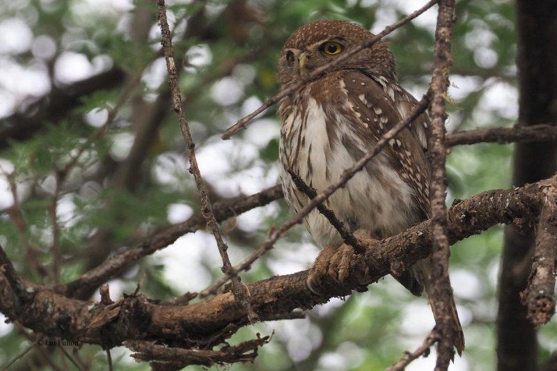 Pearl-spotted Owlet, Tarangire Safari Lodge