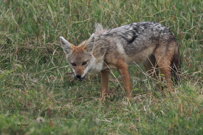 African Golden Wolf, Ngorongoro crater