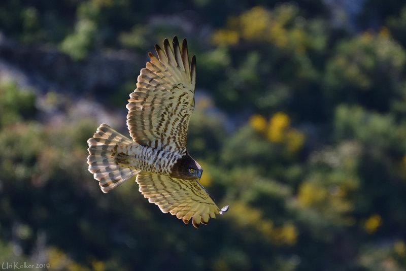 <h5>Short-toed Eagle - חיוויאי - <i>Circaetus gallicus<i></h5>