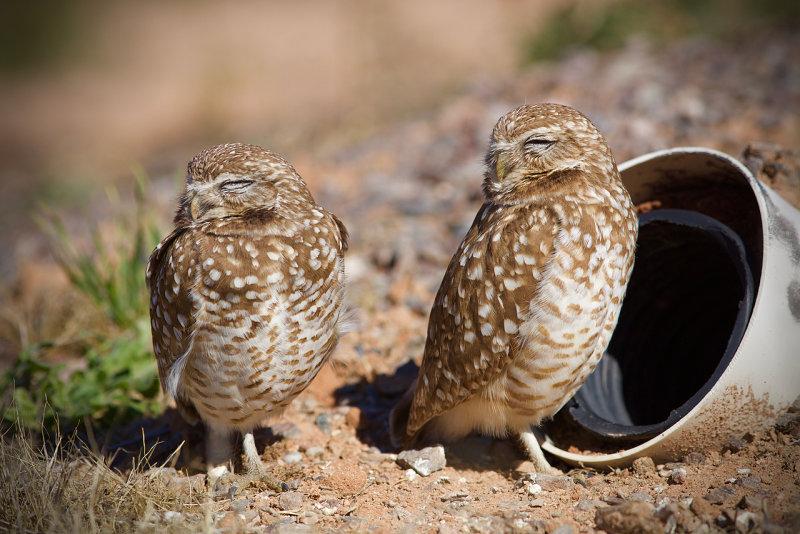 Zanjero Park : Burrowing Owls
