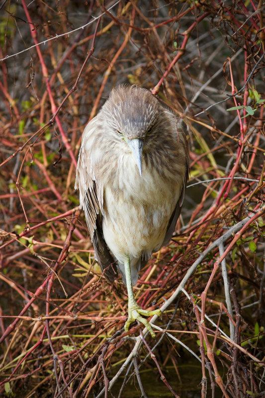 Riparian Preserve : Night Heron : Evil Stare