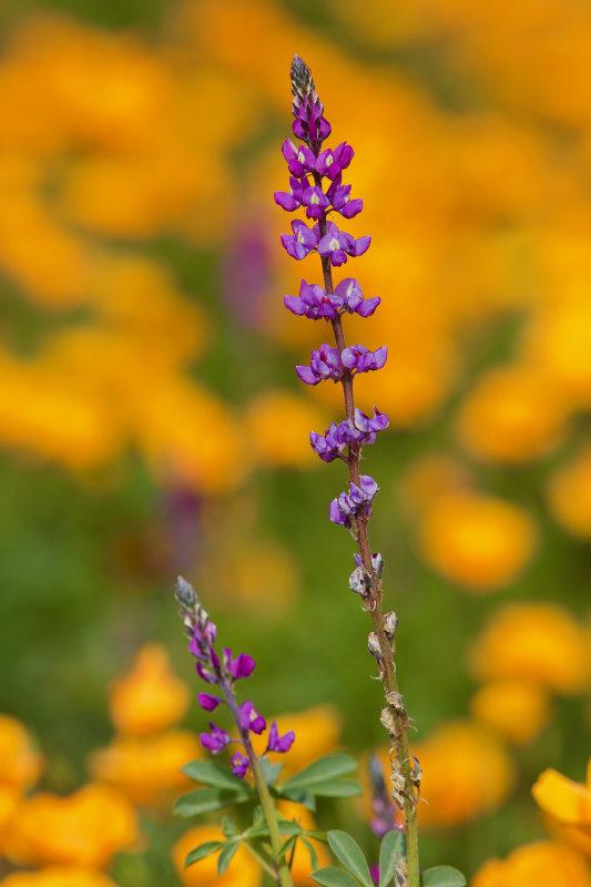 Zanjero Park : Desert Flowers