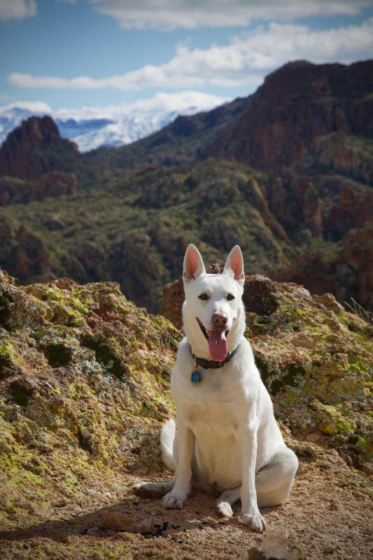 Apache Trail : Holly : White German Shepherd