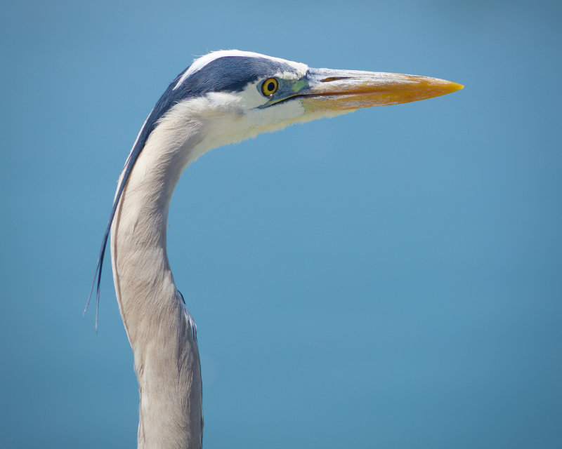 Up Close : Great Blue Heron