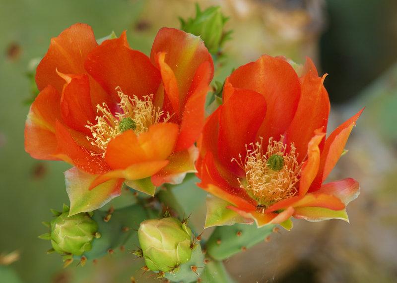 Prickly Pear in Bloom : Veterans Oasis
