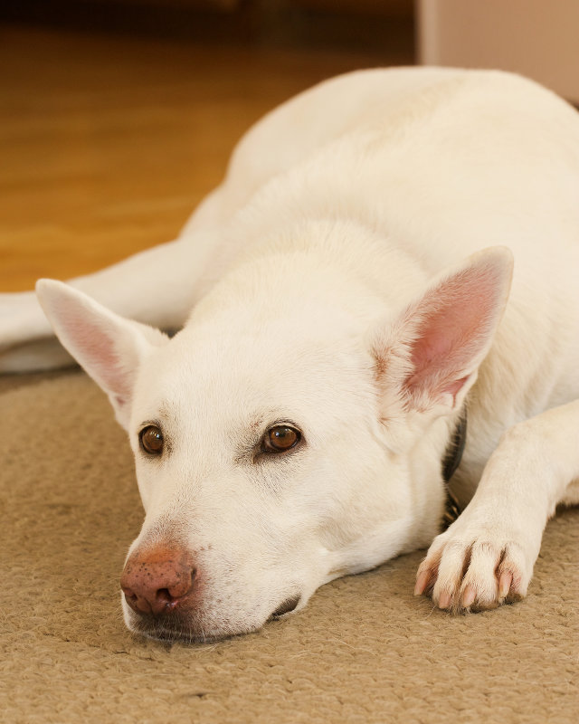 Holly : White German Shepherd