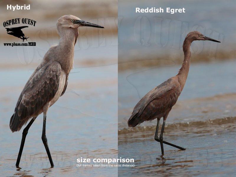 _M5A2518 Reddish Egret vs hybrid.jpg