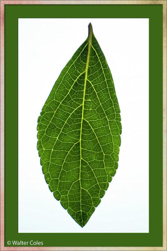 Leaves 4-19-20 1+3 (3) CC S2 Frame w.jpg